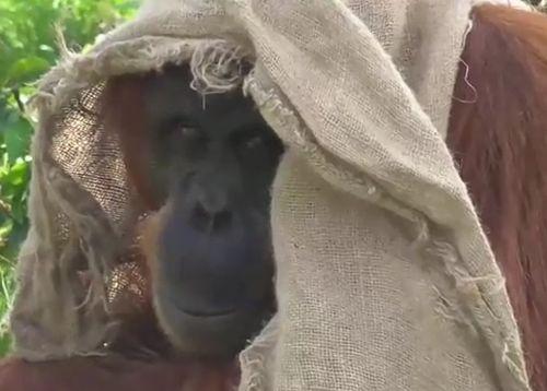 04092016-orangutan
