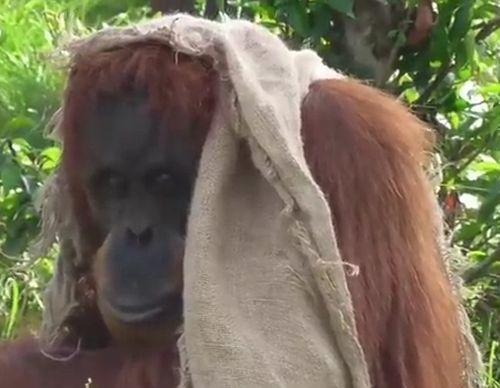 04092016-orangutan1