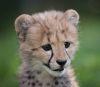 07092016-cheetah-s