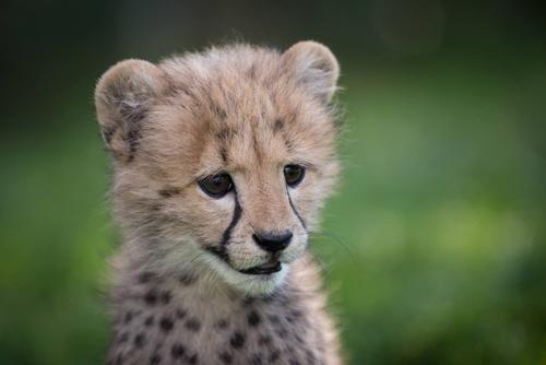 07092016-cheetah