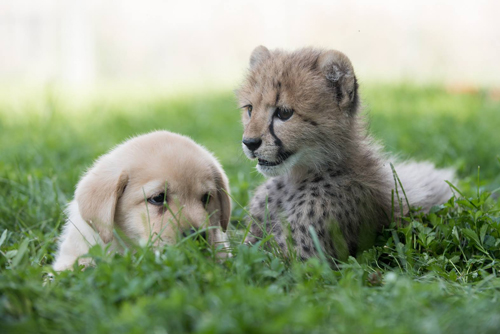 07092016-cheetah1