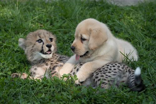 07092016-cheetah3