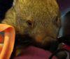 07092016-wombat-s