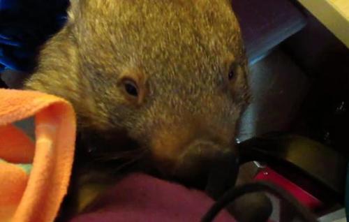 07092016-wombat1
