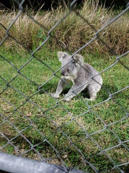 13092016-koala1
