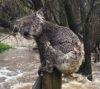 16092016-koala-s
