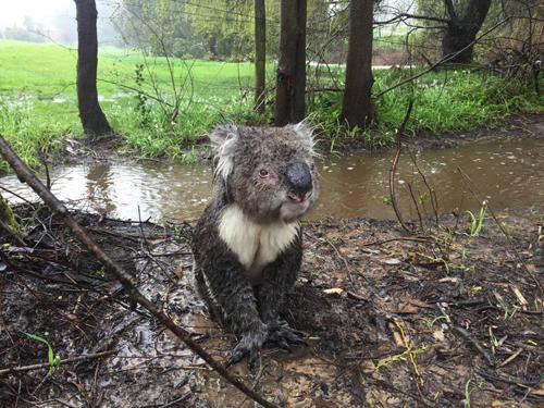 16092016-koala1