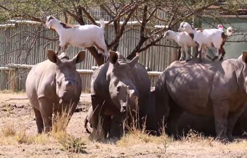26092016-rhinosandgoats2