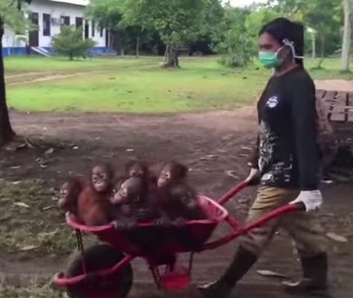 30092016-orangutans