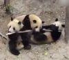 03102016-panda-s