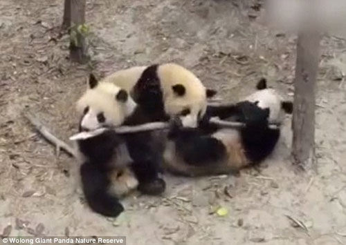 03102016-panda1