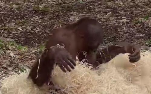 04102016-orangutan
