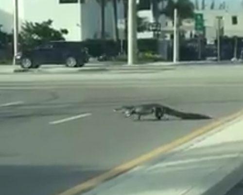 11102016-alligator1
