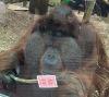 12102016-orangutan-s