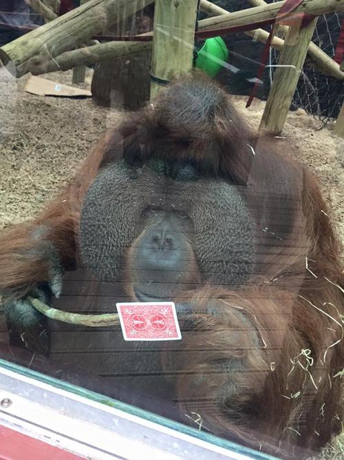 12102016-orangutan