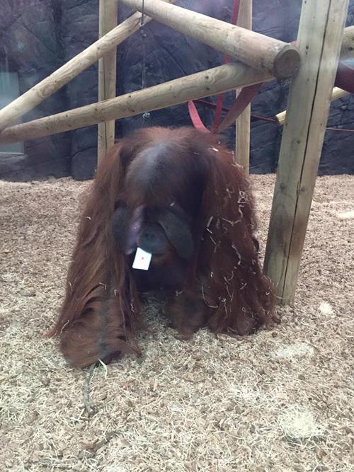 12102016-orangutan1
