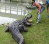 13102016-alligatorcapturedalive-s