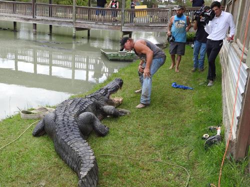 13102016-alligatorcapturedalive