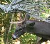 17102016-deer-s