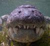 18102016-crocodiles-s