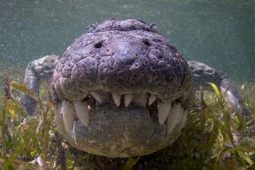 18102016-crocodiles