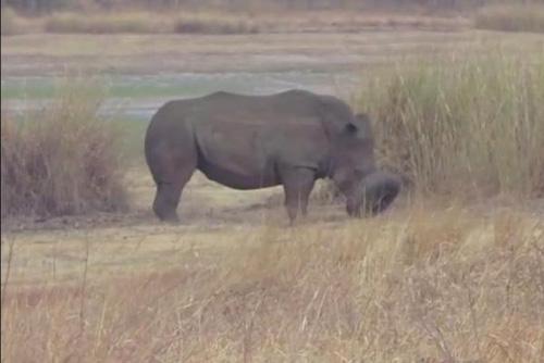 18102016-whiterhino