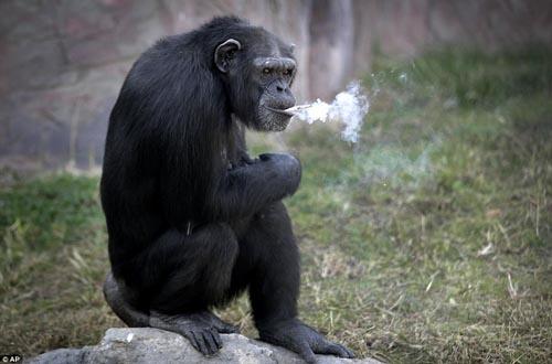 19102016-smokingchimp1
