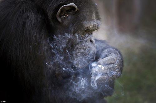 19102016-smokingchimp2