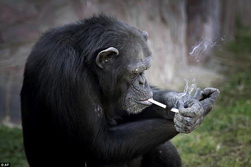 19102016-smokingchimp3