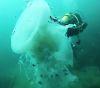 24102016-jellyfish-s