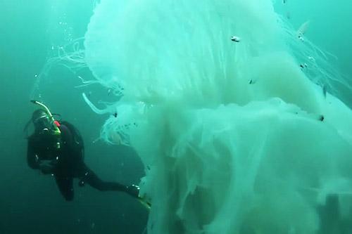 24102016-jellyfish2