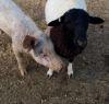 30102016-sheepandpig-s
