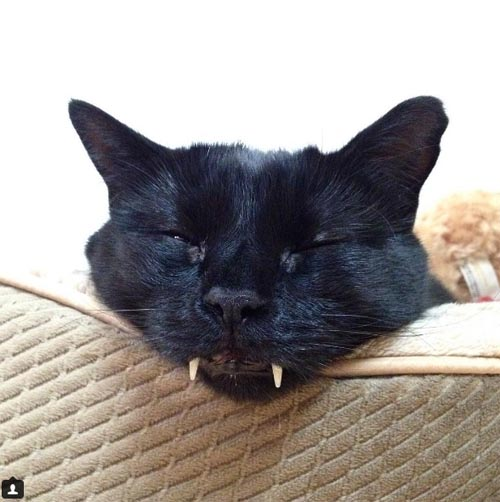 03112016-vampiretoothedcat1