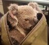 07112016-koala-s