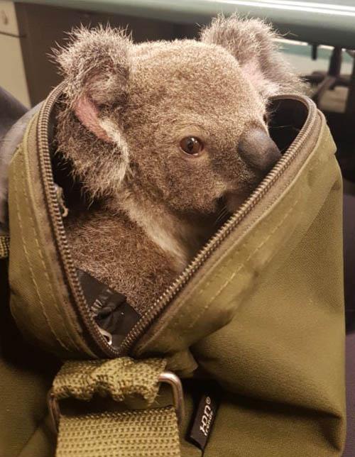 07112016-koala1