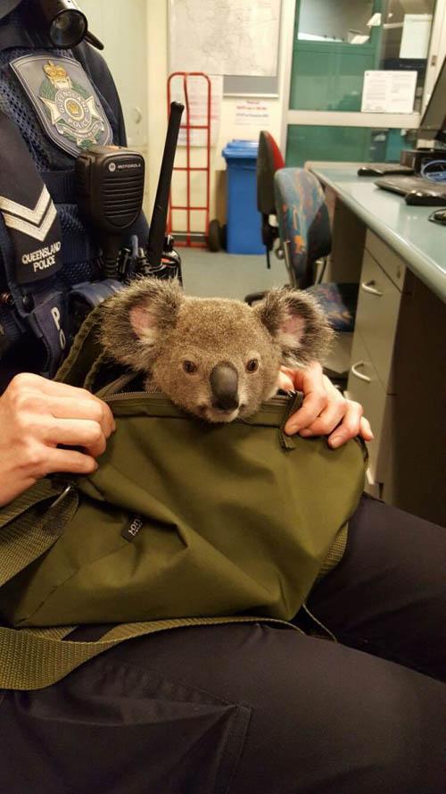 07112016-koala4