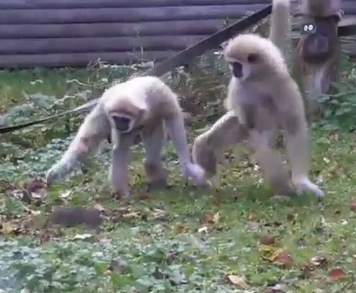 08112016-monkeypanics2