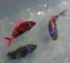 10112016-robotfish-s