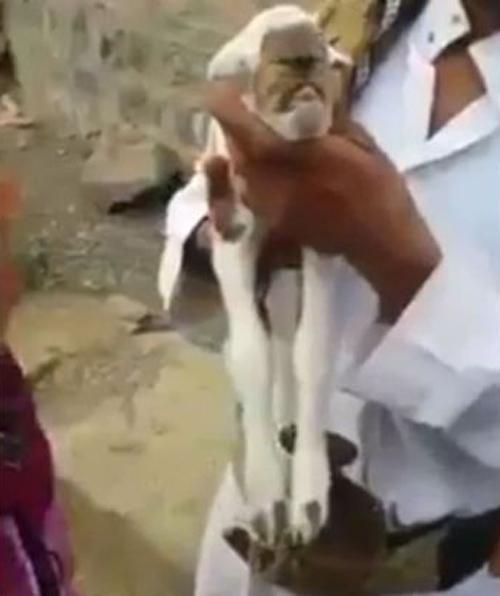 15112016-goat