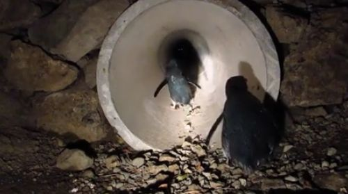 15112016-penguins1