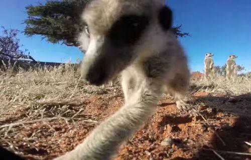 23112016-meerkats