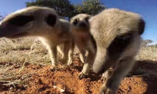 23112016-meerkats1