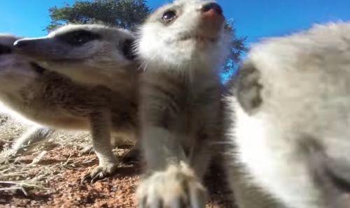 23112016-meerkats2