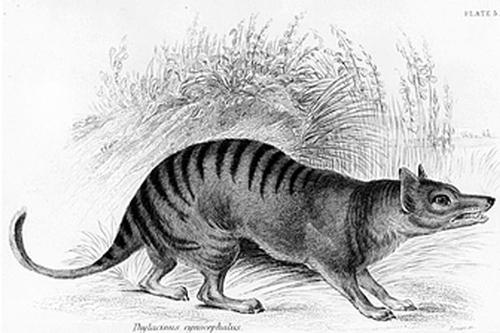 27112016-tasmaniantiger1