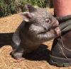 01122016-wombat-s