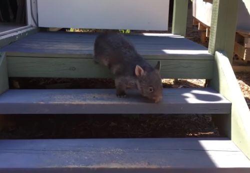 01122016-wombat