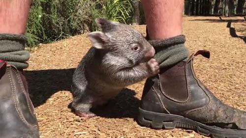01122016-wombat1