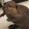 02122016-beaver-s
