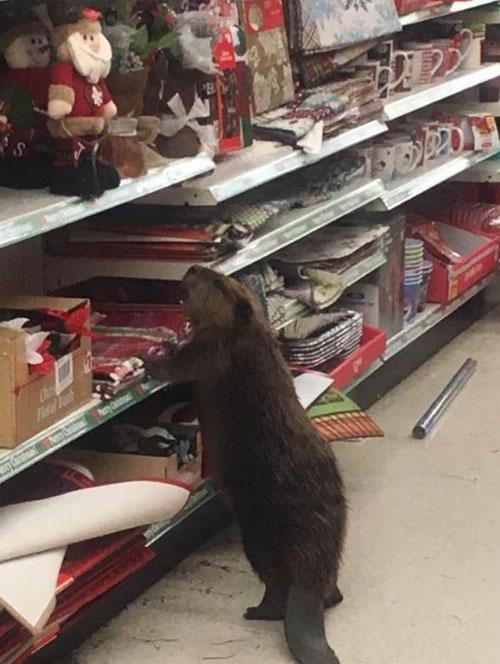 02122016-beaver2