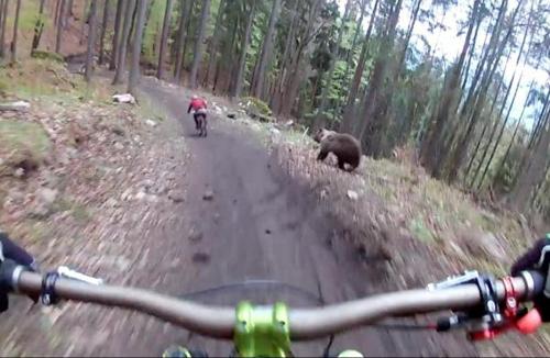медведь погнался за велосипедистом